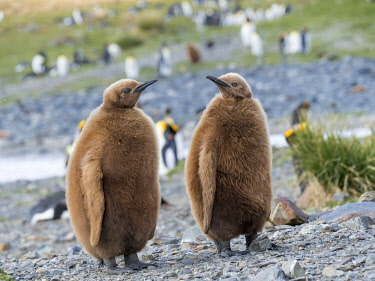 AN02MZW0517 King Penguin (Aptenodytes patagonicus) on the island of South Georgia, rookery in Fortuna Bay. Chick in typical brown plumage.