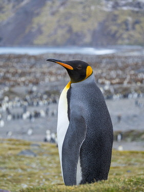 AN02MZW0248 King Penguin (Aptenodytes patagonicus) rookery in St. Andrews Bay. South Georgia Island
