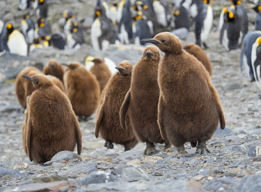 AN02MZW0252 King Penguin (Aptenodytes patagonicus) rookery in St. Andrews Bay. Chick in typical brown plumage Antarctica, South Georgia Island
