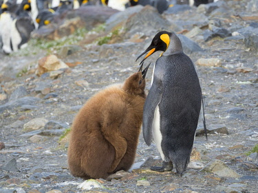 AN02MZW0262 King Penguin (Aptenodytes patagonicus) rookery in St. Andrews Bay. Feeding behavior. South Georgia Island