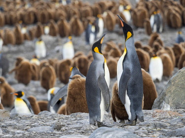 AN02MZW0264 King Penguin (Aptenodytes patagonicus) rookery in St. Andrews Bay. Feeding behavior. South Georgia Island