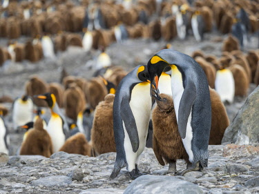 AN02MZW0267 King Penguin (Aptenodytes patagonicus) rookery in St. Andrews Bay. Feeding behavior. South Georgia Island