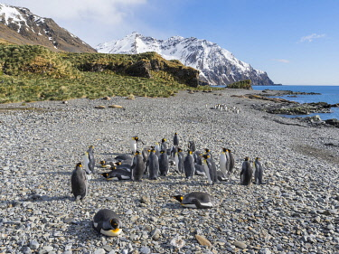 AN02MZW0271 King Penguin (Aptenodytes patagonicus) rookery in Fortuna Bay. South Georgia Island