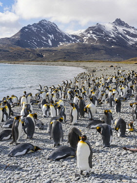 AN02MZW0273 King Penguin (Aptenodytes patagonicus) rookery in Fortuna Bay. South Georgia Island