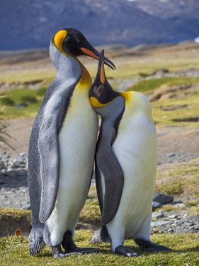 AN02MZW0277 King Penguin (Aptenodytes patagonicus) rookery in Fortuna Bay. Courtship behavior. South Georgia Island