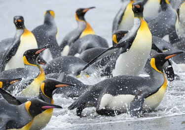 AN02MZW0302 King Penguin (Aptenodytes patagonicus) rookery on Salisbury Plain in the Bay of Isles. Adults coming ashore. South Georgia Island