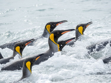 AN02MZW0311 King Penguin (Aptenodytes patagonicus) rookery on Salisbury Plain in the Bay of Isles. Adults coming ashore. South Georgia Island