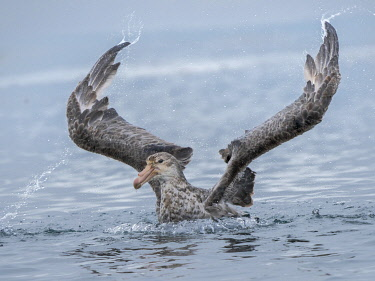 AN02MZW0351 Northern Giant Petrel or Hall's Giant Petrel (Macronectes halli) bathing in the Bay of Isles near Prion Island on South Georgia Island