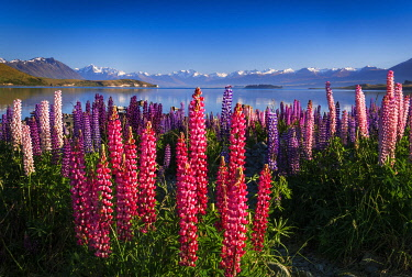 AU03RBS0067 Morning light on lupine at Lake Tekapo, Canterbury, South Island, New Zealand