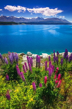 AU03RBS0108 Wildflowers at Lake Pukaki in the Southern Alps, Canterbury, South Island, New Zealand