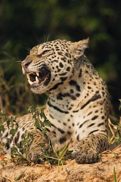 NA02KAR0697 Jaguar yawning