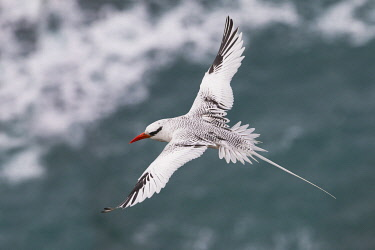 NA02KAR0765 Red-billed Tropicbird