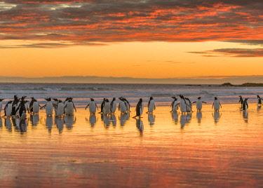 SA09MZW0928 Gentoo Penguin (Pygoscelis papua) on the sandy beach of Volunteer Point. South America, Falkland Islands