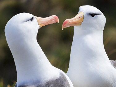 SA09MZW1003 Black-browed albatross or black-browed mollymawk (Thalassarche melanophris), typical courtship and greeting behavior. South America, Falkland Islands