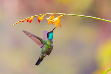 SA22BJY0122 Central America, Costa Rica. Male talamanca hummingbird feeding