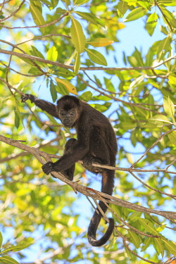 SA12SWR0201 Central American Howler Monkey (Alouatta palliata), rehab center and forest preserve on Mango Key across from Coxen Hole, Roatan, Bay Islands, Honduras