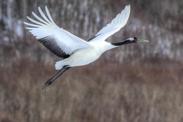 AS15DGU0153 Red-crowned crane flying
