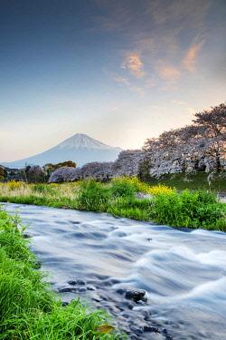 JAP1630RF Asia, Japan, Honshu, Shizuoka prefecture, Mt Fuji (3776m) - Unesco site, spring cherry blossom