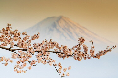 JAP1639RF Asia, Japan, Honshu, Yamanashi prefecture, Mt Fuji (3776m) - Unesco site and spring cherry blossom