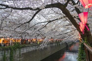 JAP1733 Asia, Japan, Tokyo, Nakameguro, Megurogawa spring cherry blossoms