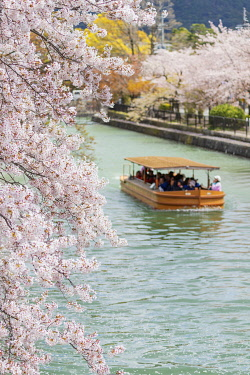 JAP1782 Asia, Japan, Kyoto, tourist boat looking at spring cherry blossom