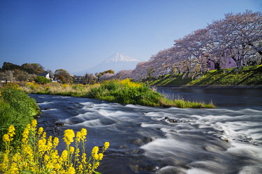 JAP1804 Asia, Japan, Honshu, Shizuoka prefecture, Mt Fuji (3776m) - Unesco site, spring cherry blossom