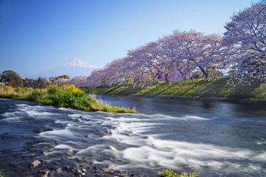 JAP1806 Asia, Japan, Honshu, Shizuoka prefecture, Mt Fuji (3776m) - Unesco site, spring cherry blossom