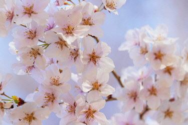JAP1825 Asia, Japan, Honshu, Nagano prefecture, Takato, Takato, spring cherry blossom