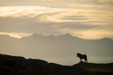 IBXDBF02222421 Iceland horse, silhouette, south-eastern coast, Iceland, Europe