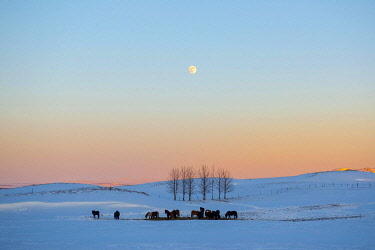 IBXDRN04862150 Snowy landscape with Icelandic horses (Equus islandicus), at sunset, Sudurland, Iceland, Europe