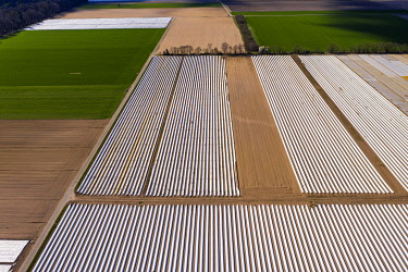 IBXMOX04869823 Asparagus fields, asparagus with white tarpaulin, Bergstrasse, Hesse, Germany, Europe