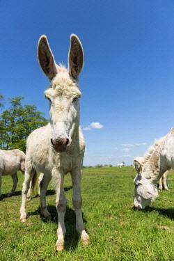 IBXROH04026991 Austria-Hungarian white donkey or Baroque Donkey (Equus asinus asinus), National Park Lake Neusiedl, Burgenland, Austria, Europe