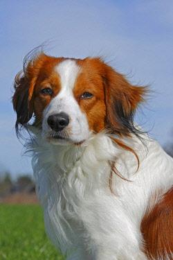 IBXUVE02225090 Kooikerhondje or Kooiker Hound (Canis lupus familiaris), young male dog, portrait