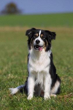 IBXVSC02235178 Australian Shepherd