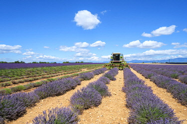 FRA11513AW Lavender fields in Provence in height of bloom in early July as workers begin harvesting first rows of Lavender, Plateau de Valensole, Provence-Alpes-Côte d'Azur, France