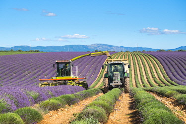 FRA11514AW Workers begin harvesting first rows of lavender in a field in early July on the Plateau de Valensole near Puimoisson, Provence-Alpes-Côte d'Azur, France
