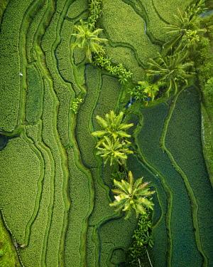 IDA0951AW Tegalalang Rice Terraces near Ubud, Bali, Indonesia