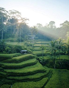 IDA0954AW Tegalalang Rice Terraces near Ubud, Bali, Indonesia