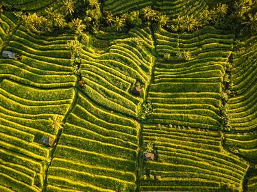 IDA0962AW Aerial View of Jatiluwih Rice Terraces, Tabanan, Bali, Indonesia