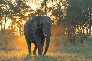 BOT5426AW Africa, Southern Africa, African, Botswana, Okavango Delta, Abu Camp, Sunrise with Elephant