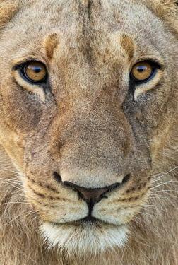 BOT5443AW Botswana, Savuti,  Okavango Delta, Lion Portrait