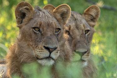 BOT5444AW Botswana, Savuti,  Okavango Delta, Lion, panthera leo
