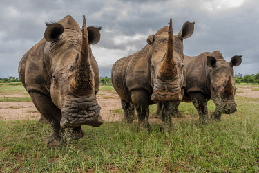 SAF7600AW South Africa, Swaziland, Black rhinoceros