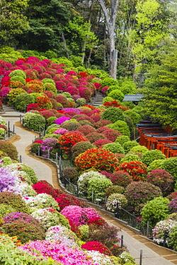 TPX69950 Japan, Honshu, Tokyo, Bunkyo-ku, Nezu Shrine, The Azalea Garden