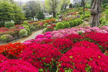 TPX69955 Japan, Honshu, Tokyo, Bunkyo-ku, Nezu Shrine, The Azalea Garden