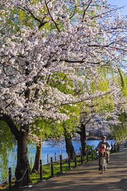 TPX70135 Japan, Honshu, Tokyo, Ueno, Ueno Park, Shinobazu Pond and Cherry Blossom