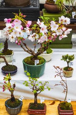 TPX70149 Japan, Honshu, Tokyo, Ueno, Ueno Park, Bonsai Vendors Display of Miniture Cherry Trees