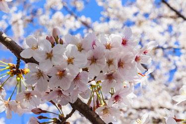 TPX70230 Japan, Honshu, Tokyo, Kudanshita, Chidori-ga-fuchi, Cherry Blossom