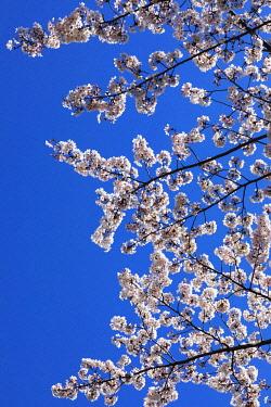 TPX70232 Japan, Honshu, Tokyo, Kudanshita, Chidori-ga-fuchi, Cherry Blossom