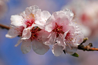 IBXRON04877606 Almond blossom, flowering Almond trees (Prunus dulcis), Southern Wine Route, Rhineland-Palatinate, Germany, Europe